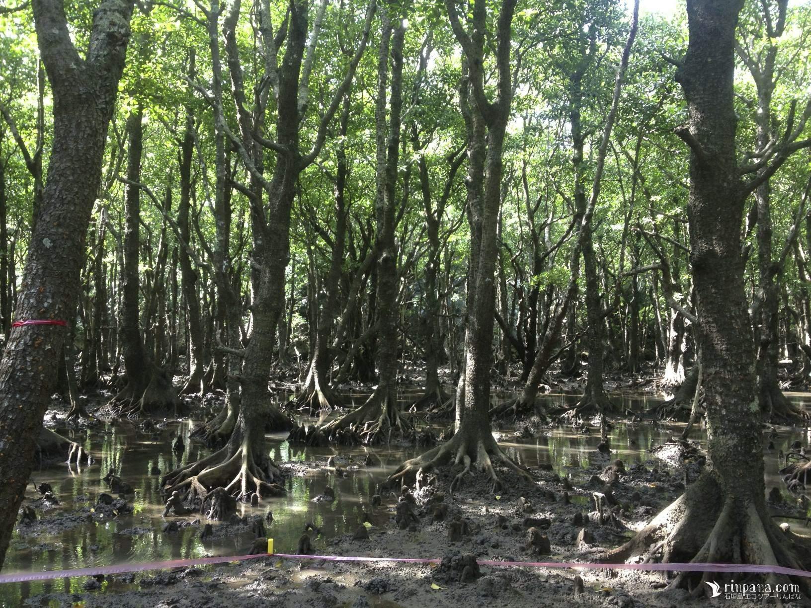 マングローブ林の奥深く