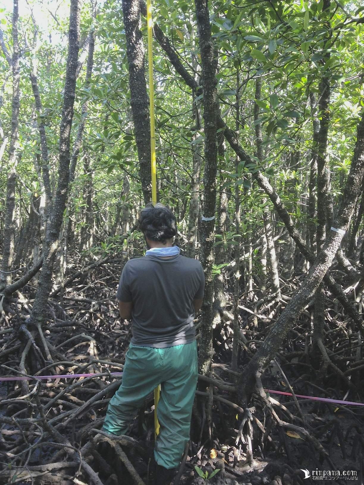 石垣島のマングローブ林を全力で調査する「カクさん」を手伝ってきました。