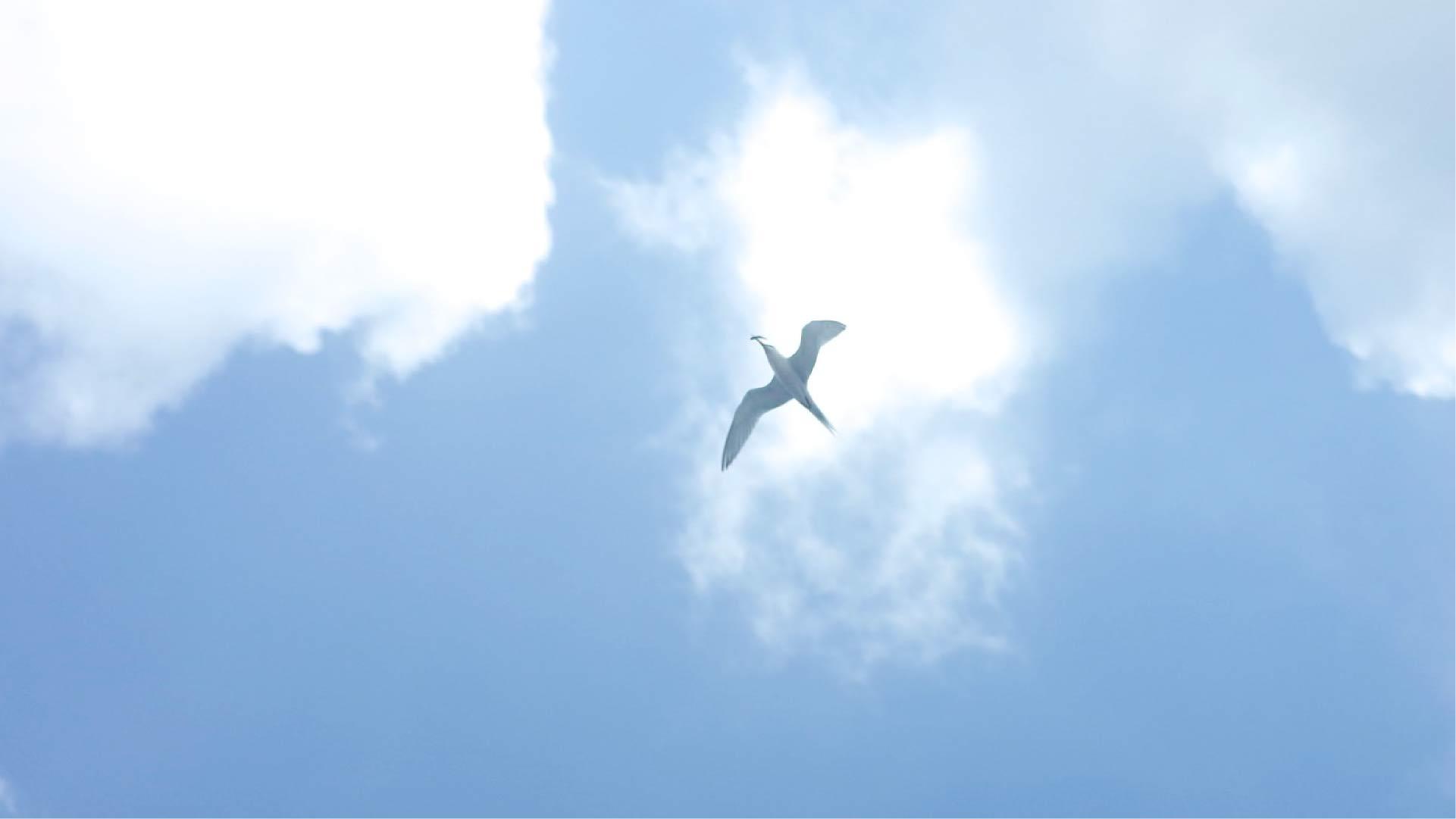 マンタシティー上空でアジサシがキビナゴをつかまえた