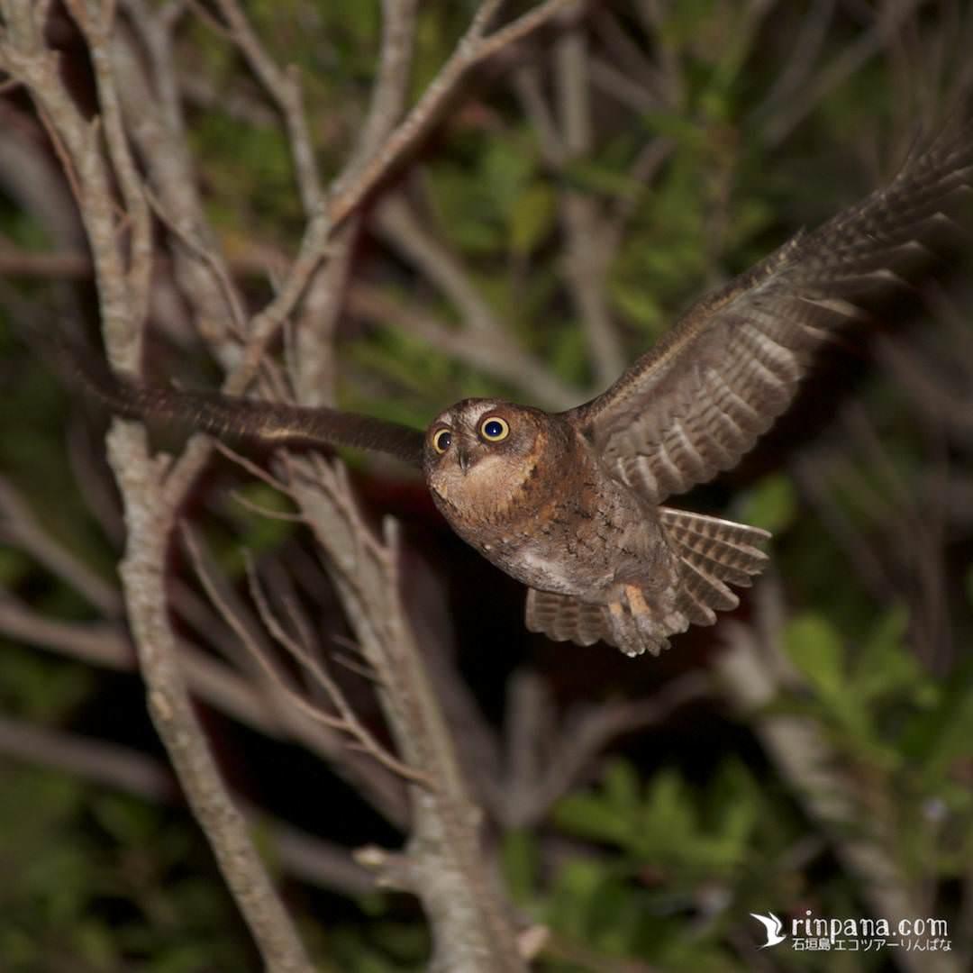 リュウキュウコノハズクが石垣島の森を飛ぶ写真