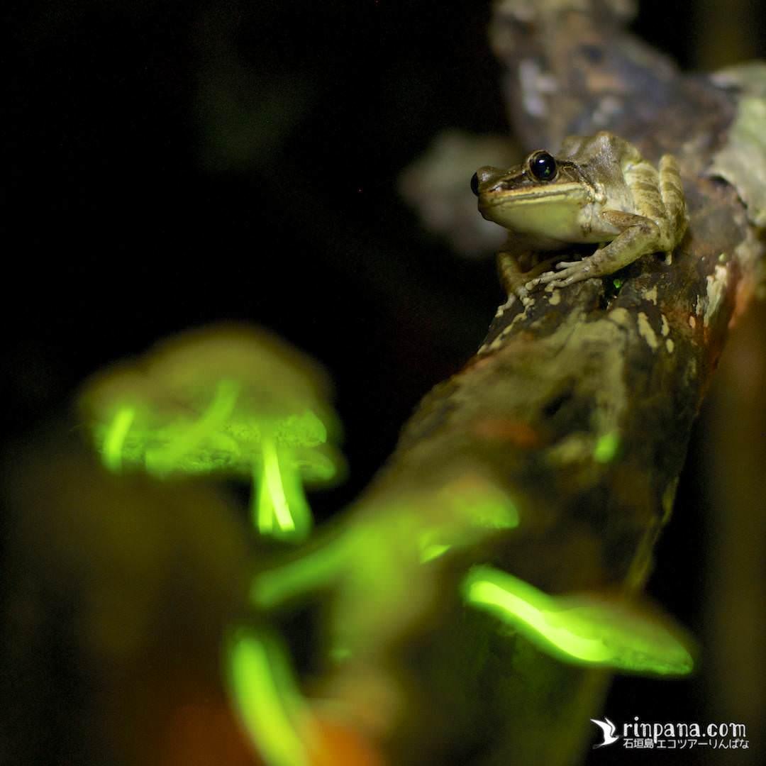 光るキノコとカエル