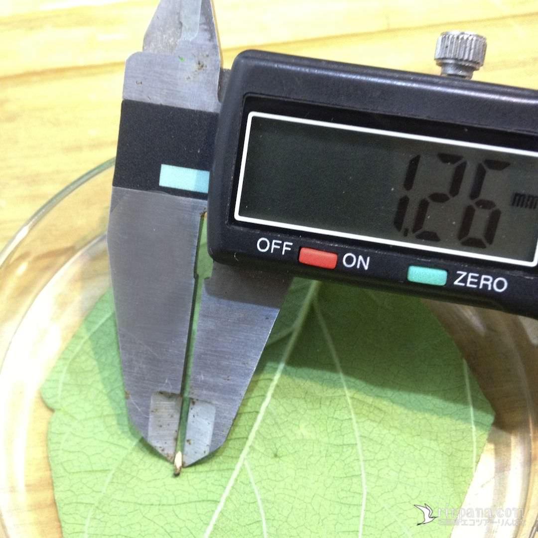 日本で一番小さいホタルの体長を計る