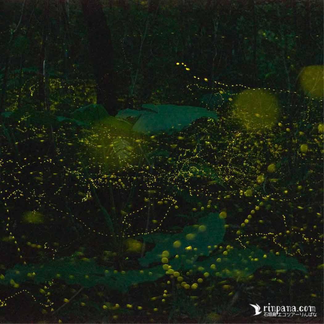 林床部を飛び交うヒメボタルの群れ