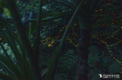 林床を飛び交うホタルたち