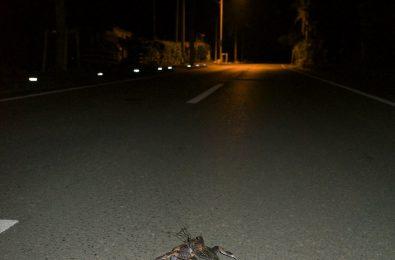 道路を歩くヤシガニ