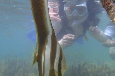 底地ビーチで見られるツバメウオの幼魚