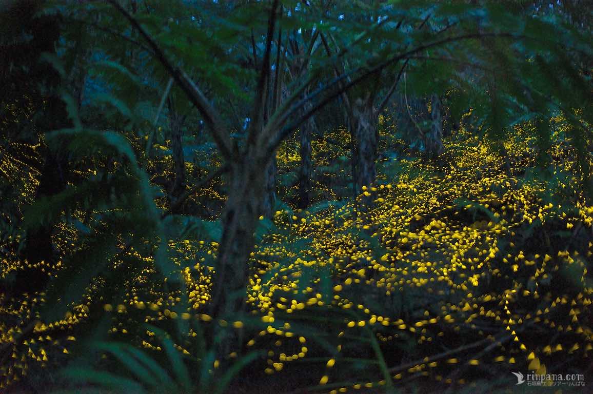 夜の森を乱舞するヤエヤマヒメボタル