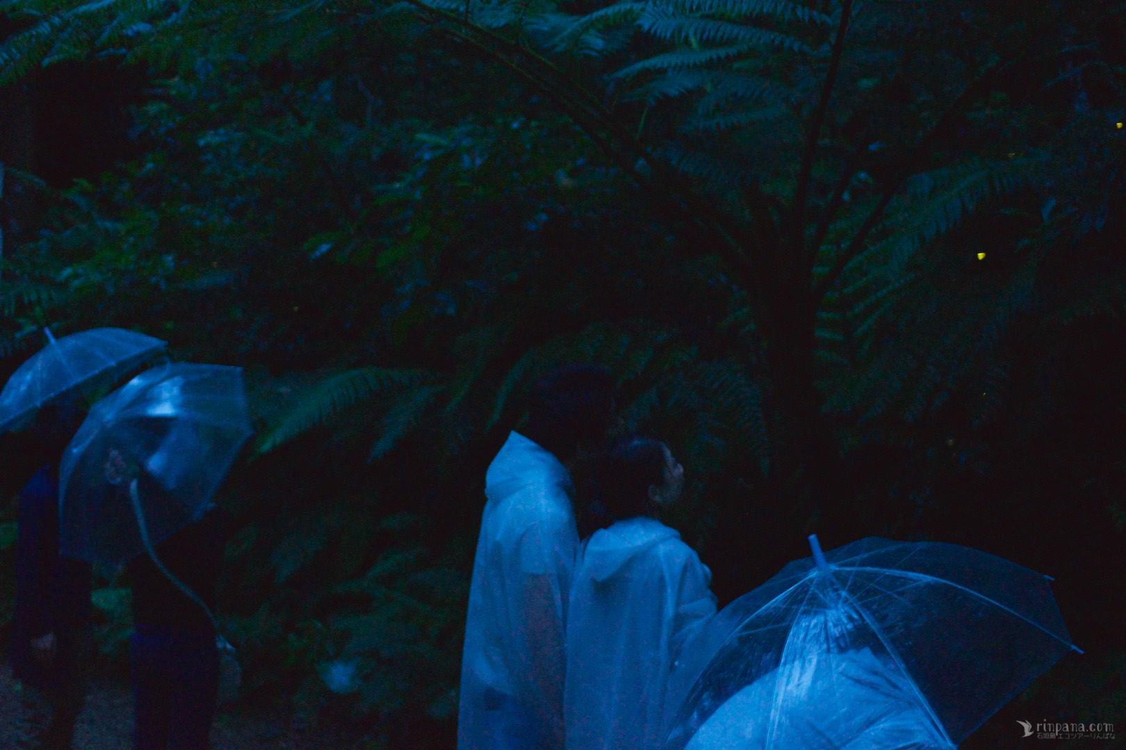 雨が降る中傘を差してホタルを見る
