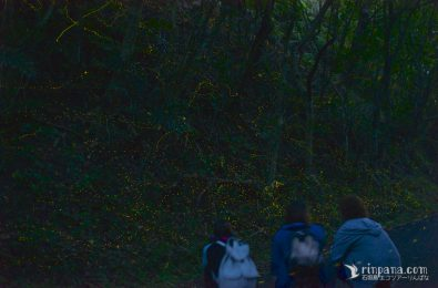 ヤエヤマヒメボタルを見る
