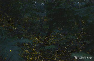 森の奥に向かって飛び交うホタルの写真