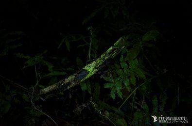 ヒカゲヘゴで光るエナシラッシタケの菌糸