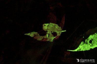 発光菌クヌギタケの菌糸が光る