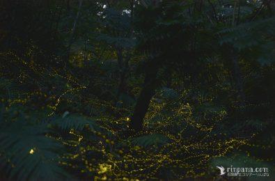 暗闇を飛び交うホタルの写真