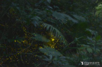 ひときわ明るいホタルの写真