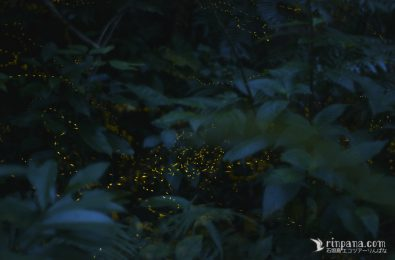 葉陰で光るホタル
