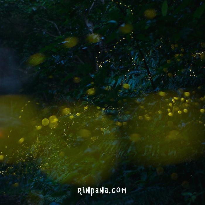 石垣島の森の中でホタルを見るツアー
