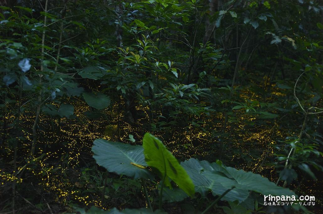 今夜の石垣島のホタルツアーブログ