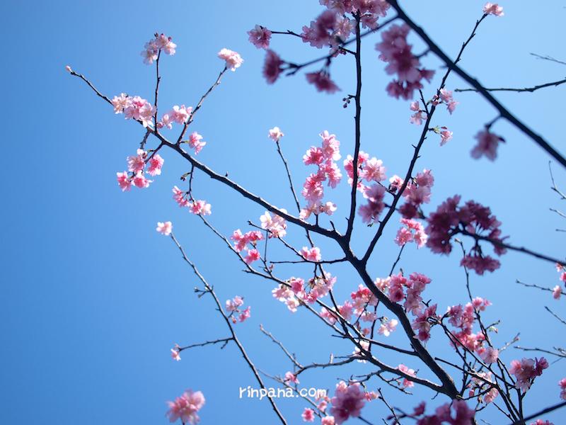 石垣島は桜が満開です!