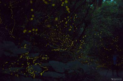 石垣島のGW前後のホタルの乱舞風景
