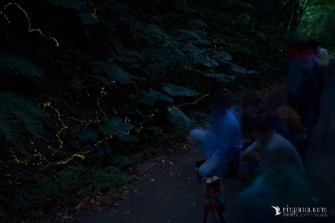 石垣島のホタルを見るナイトツアーで、ヒメボタルを見る参加者