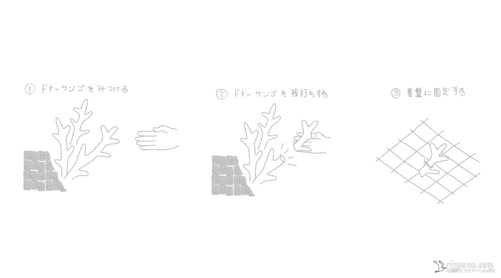 サンゴの無性生殖での移植