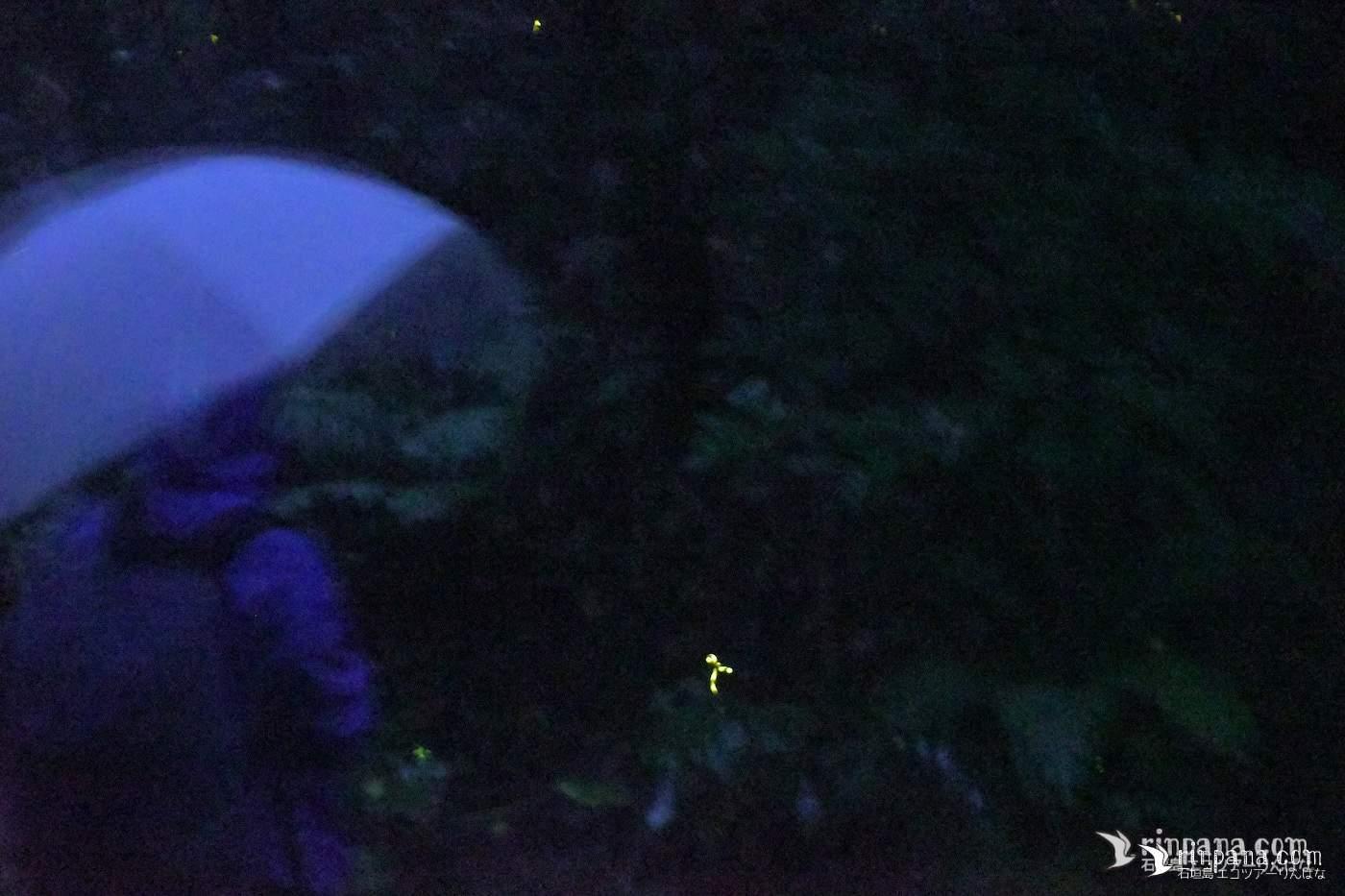 強い雨の中のホタルツアー