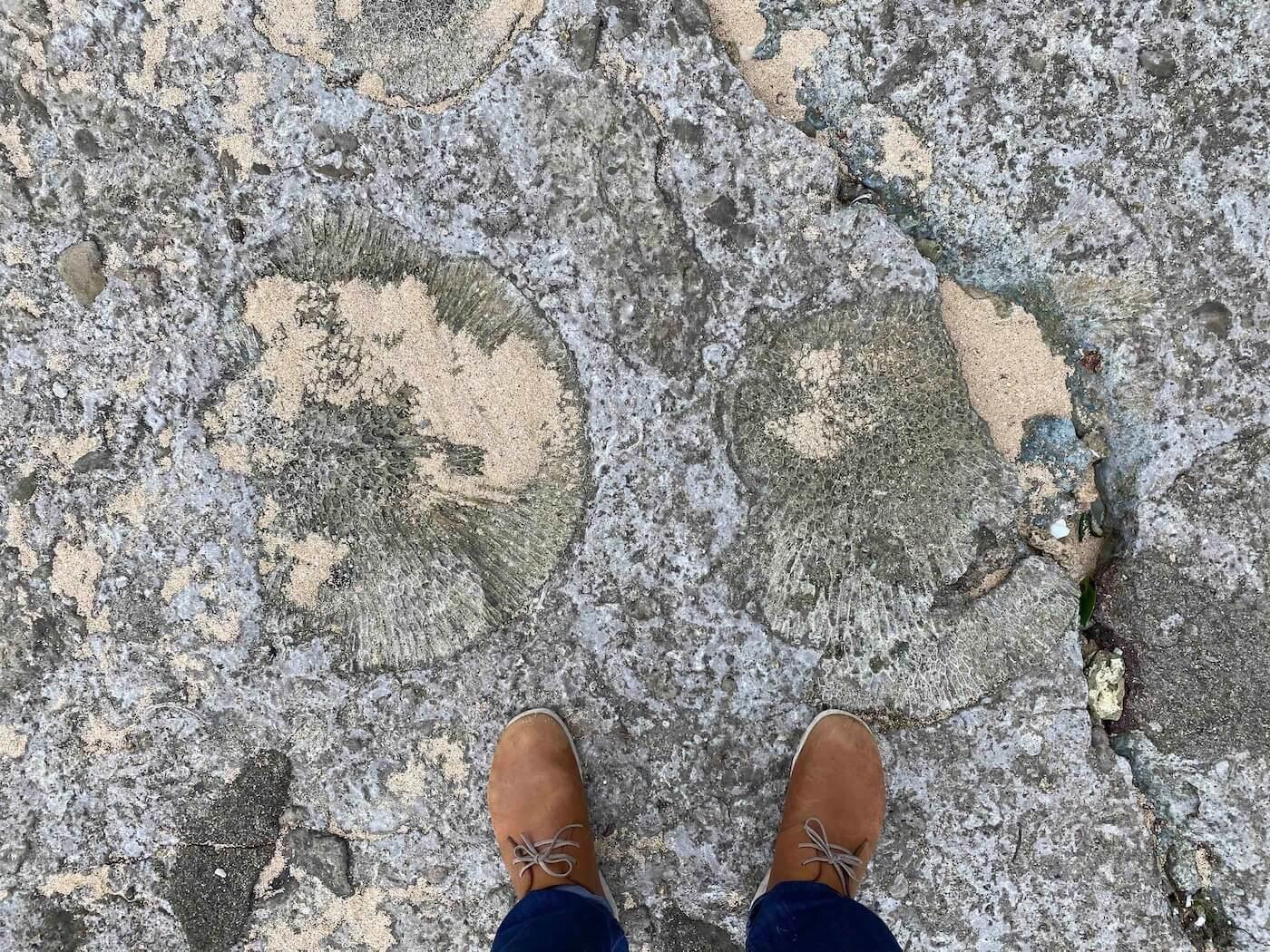 海岸で見つけたキクメイシ科サンゴが埋没した岩盤