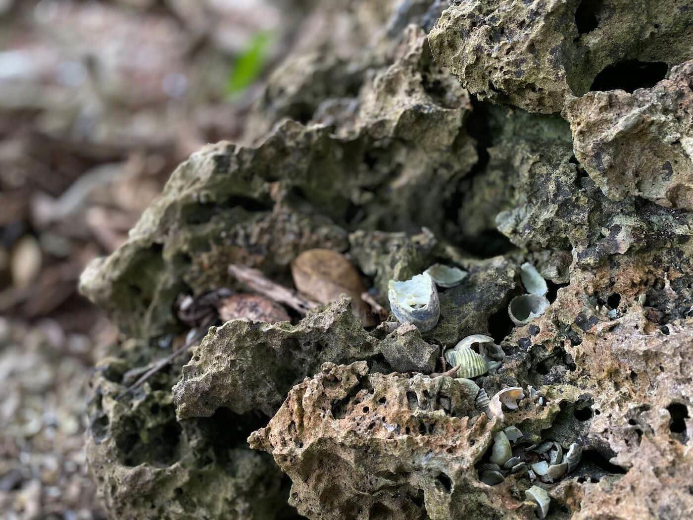 キバアマガイと見られる貝塚