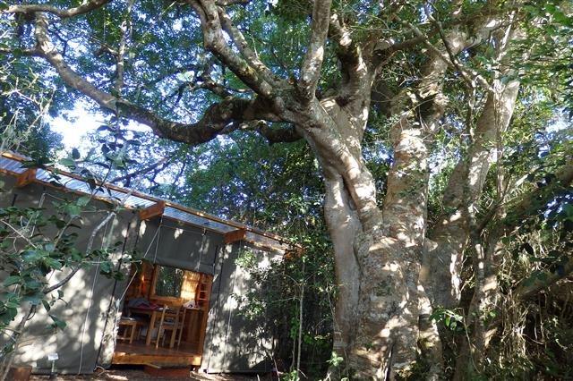 アフリカの太古の森の巨樹