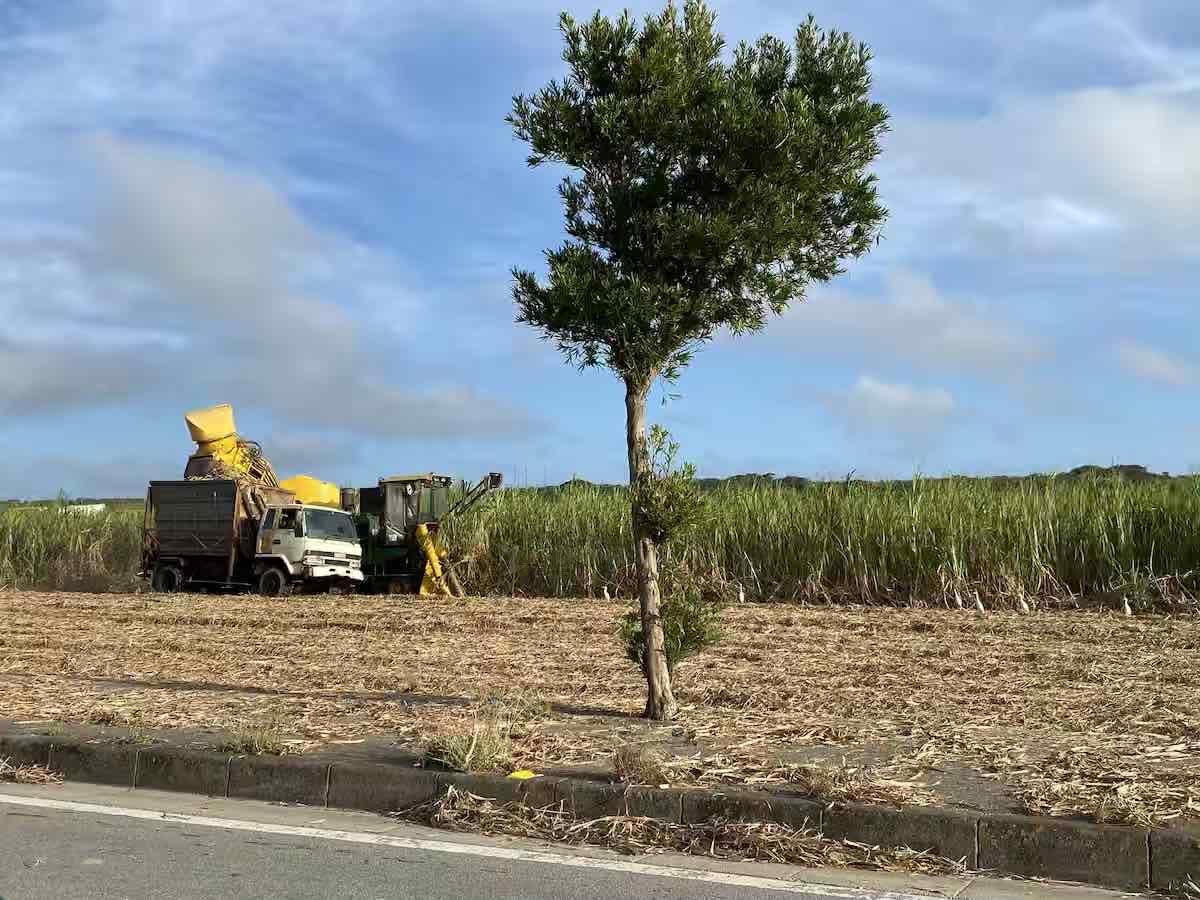2019年冬、石垣島でサトウキビの収穫がはじまりました