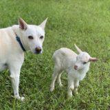 犬のクルミと子ヤギ