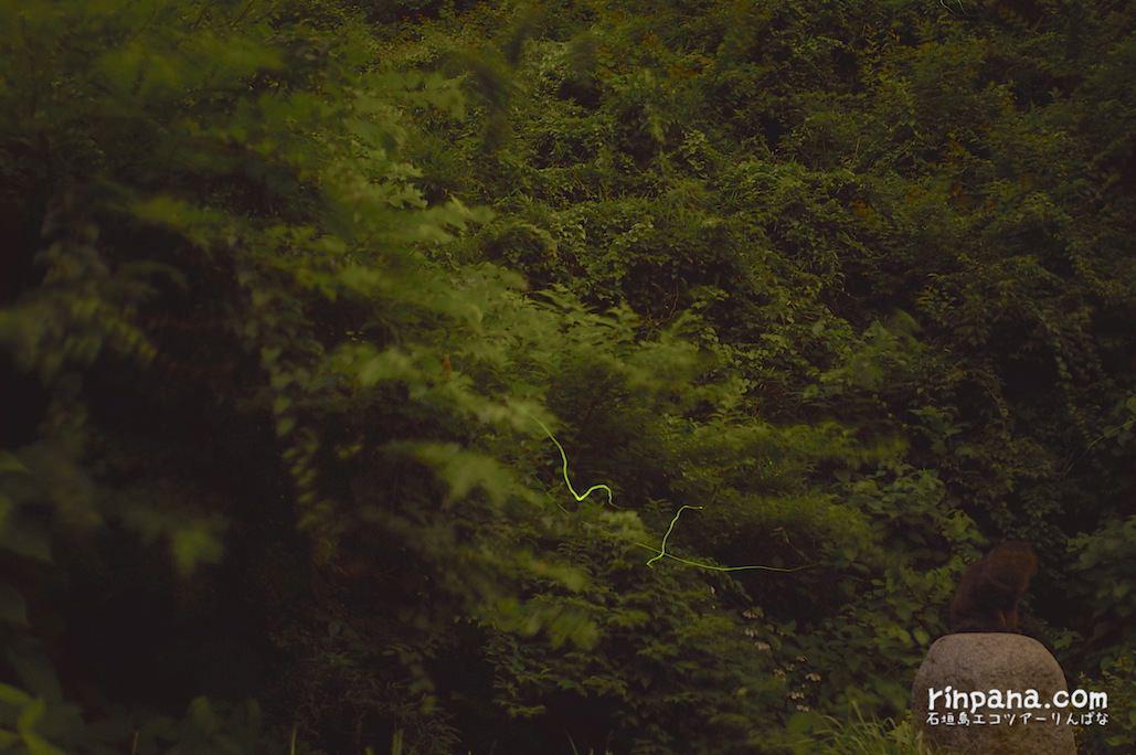 瀬上のゲンジボタルをGRで撮影