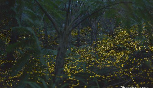 石垣島のホタルの写真集1