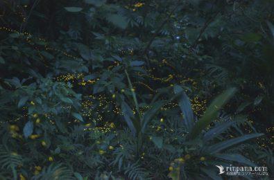 石垣島の夜の森のホタル