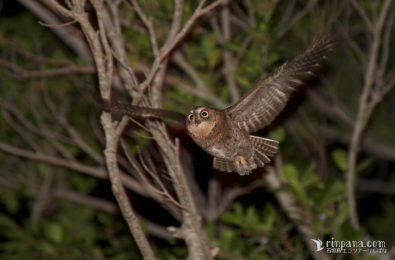 リュウキュウコノハズクが飛ぶ