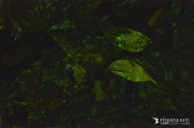 枯れ葉が発光菌で光る