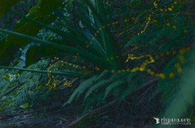 クワズイモの下を飛び交うホタル