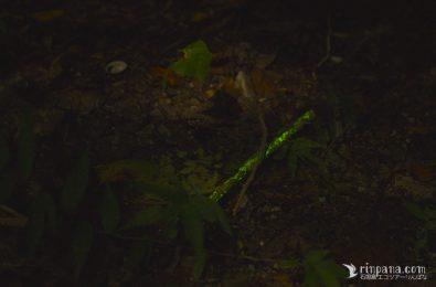 エナシラッシタケの菌糸が光る