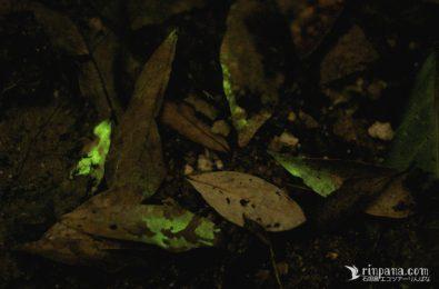 クヌギタケの菌糸が光る写真