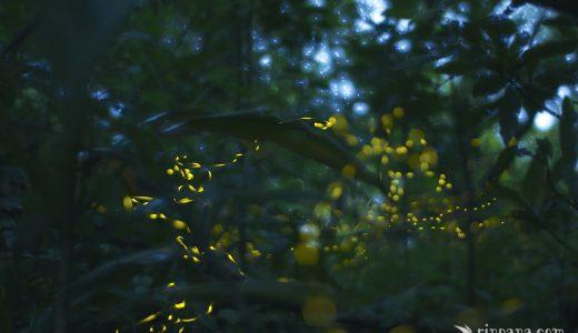 石垣島のホタルの写真集4