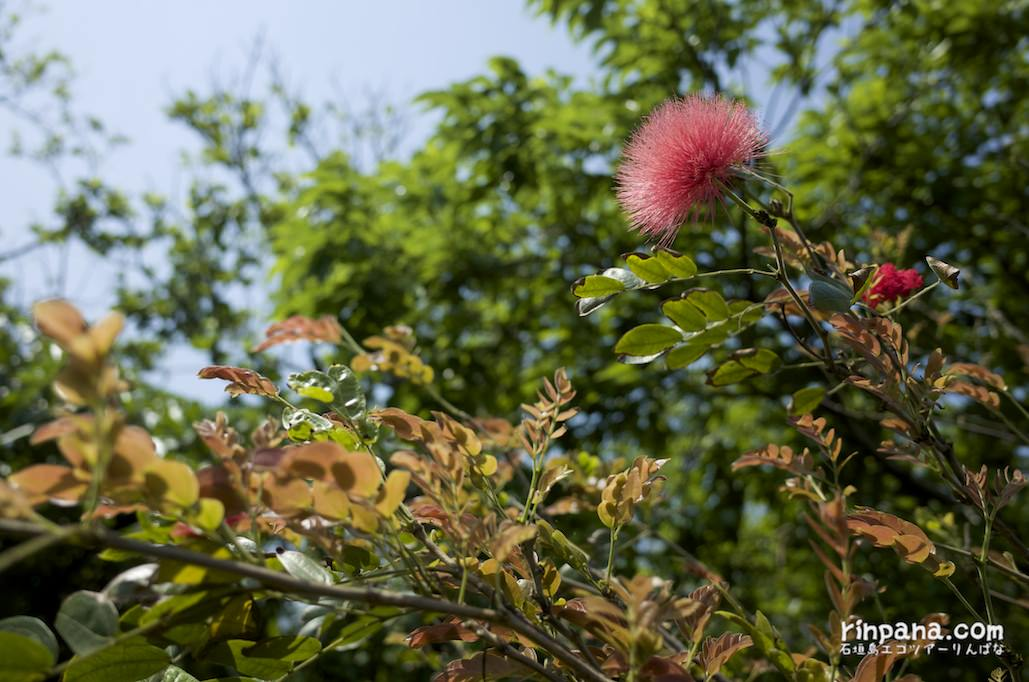 石垣島の春