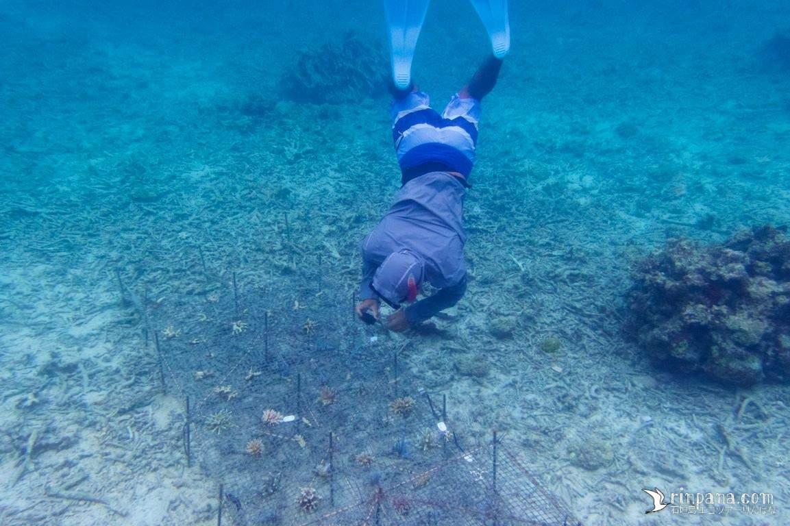 石垣島でサンゴを移植しています。