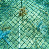 ダイビングで移植されたサンゴ