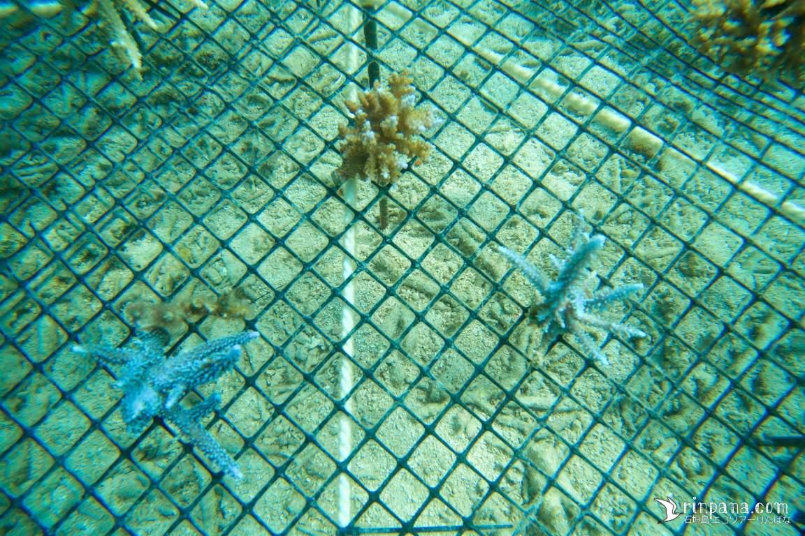 [サンゴ移植] サンゴ苗を集めて海底基地に移植しました。