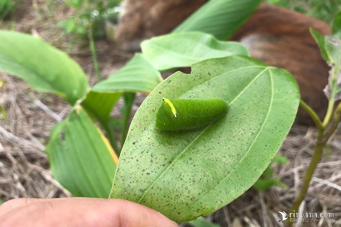 植樹した木々がイモムシに食べられてる!